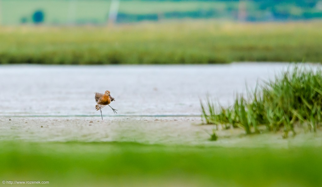 20140622 - 90 - bird photography, Black-tailed godwit